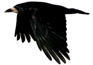 black bird in flight