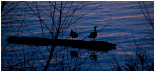 2 ducks silhouetted against a nighttime blue lake