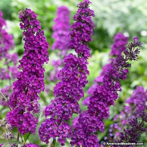 buddleia-royal-red