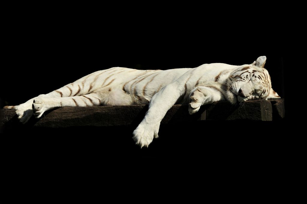 pic of a white tiger sleeping on a wood plank, set against a black background